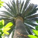 poda de palmeras mallorca