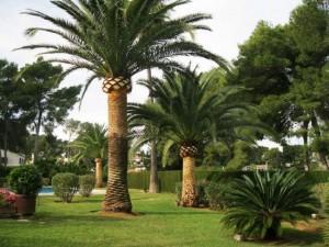 poda-palmeras-mallorca-1