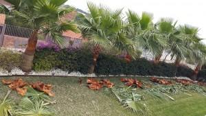 poda-palmeras-mallorca-2