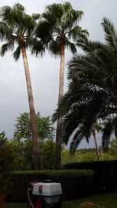 poda-palmeras-mallorca-3
