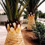 poda-palmeras-mallorca-5