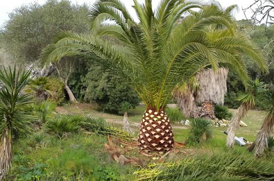 poda-palmeras-mallorca-6