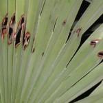 tratamientos-paysandisia-palmitos-1