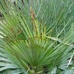 tratamientos-paysandisia-palmitos-2