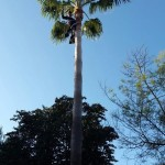 limpieza-palmeras-mallorca