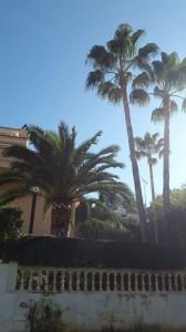 limpieza-palmeras-mallorca1