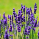 lavender-1117275_640