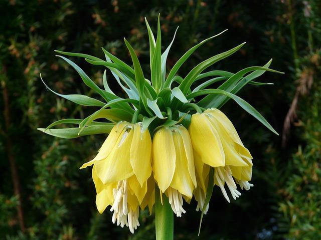 Fritillaria - jardineros mallorca