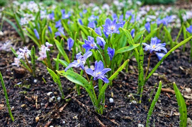 chionodoxa, jardineros en mallorca