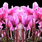 cyclamen jardineros mallorca