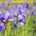 iris - jardineros mallorca