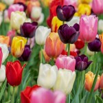 tulipan - jardineros mallorca